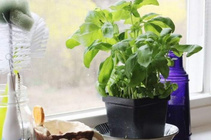 Twenty Minute Homemade Marinara Sauce made with basil from a fresh plant.